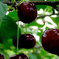 Правила пересадки вишни летом