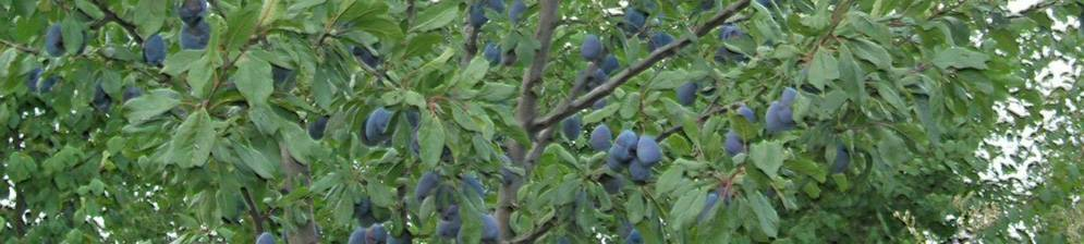 Слива синий дар: описание сорта, фото, отзывы