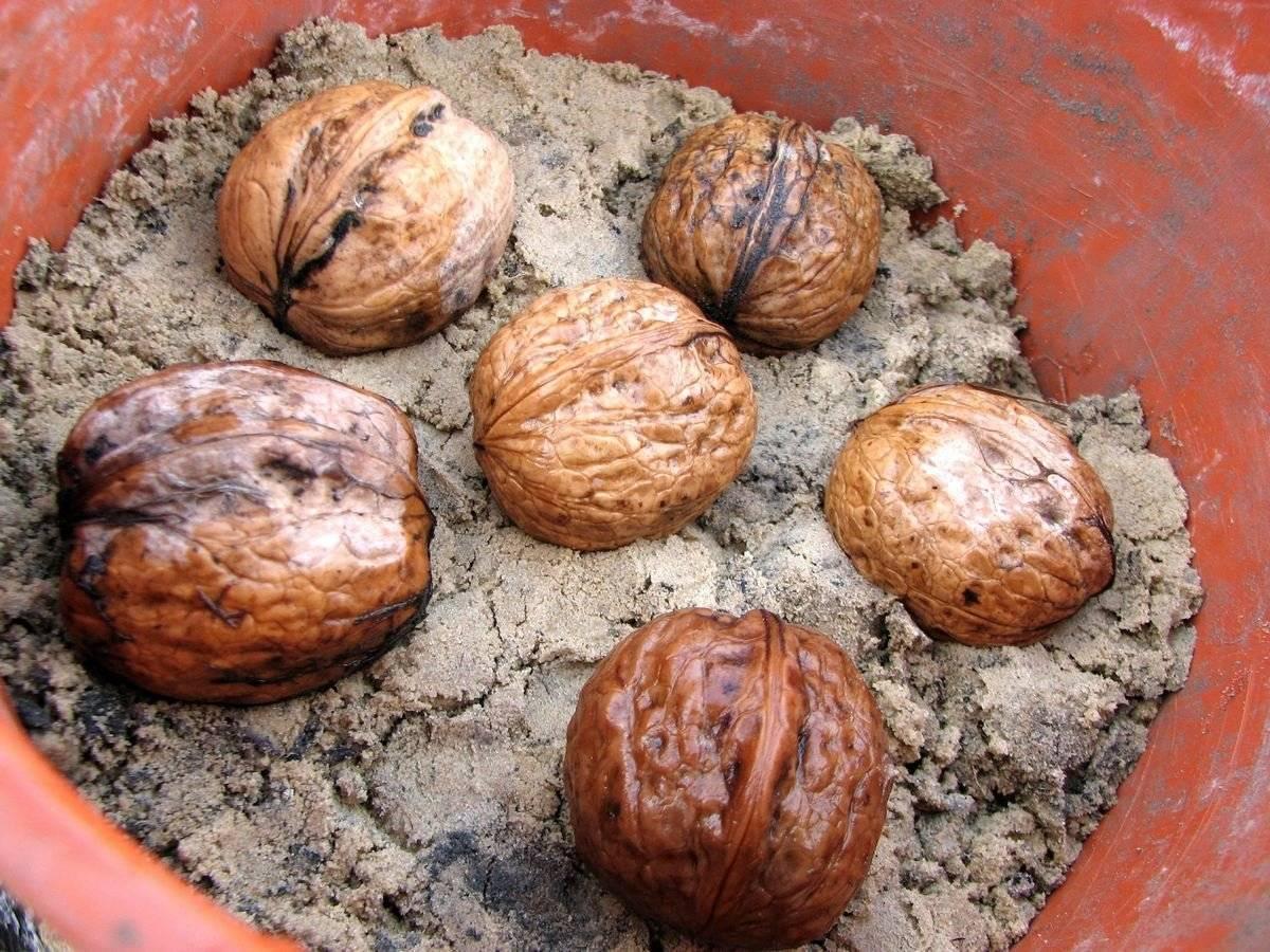 Важность пересадки грецкого ореха на постоянное место. когда и в каком возрасте лучше пересаживать деревце?