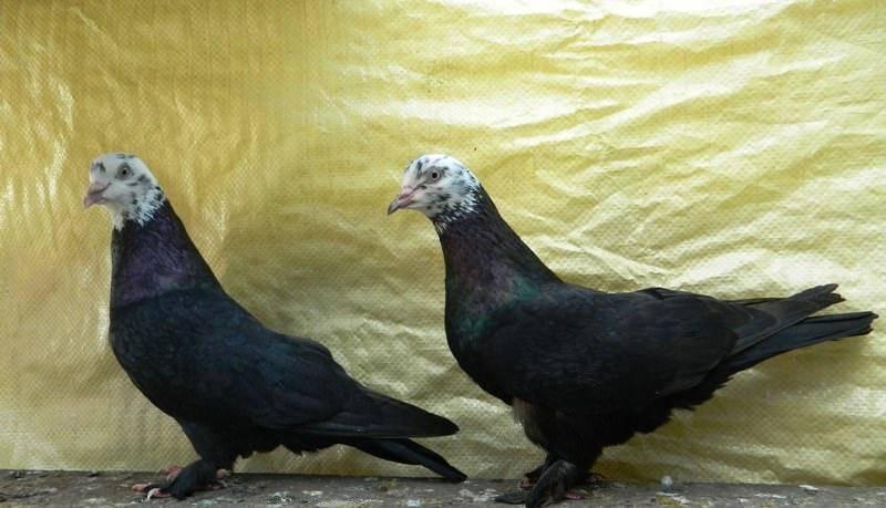 Бойные голуби: особенности, породы и выращивание