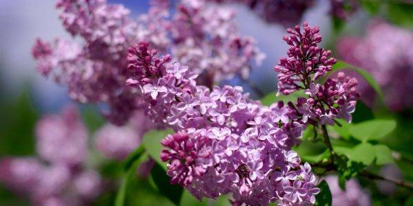 Выращивание сирени в саду: как сажать и ухаживать за цветущим кустарником