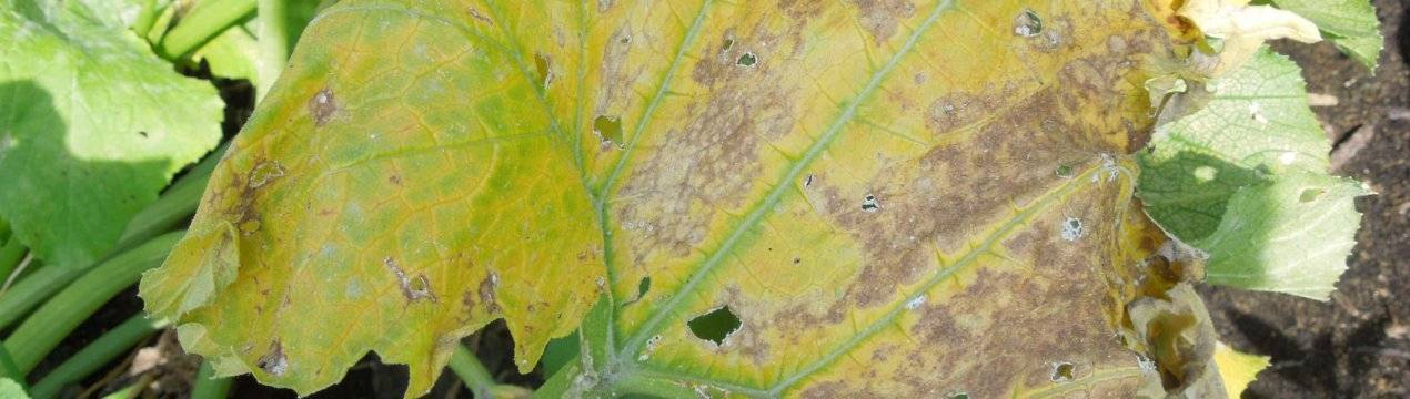 У тыквы пожелтели листья — что делать