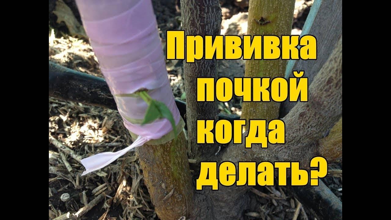 Как правильно сделать прививку персика весной