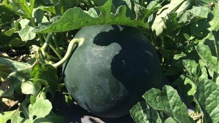 Дыня — популярные сорта и характеристики как выращивать дыню