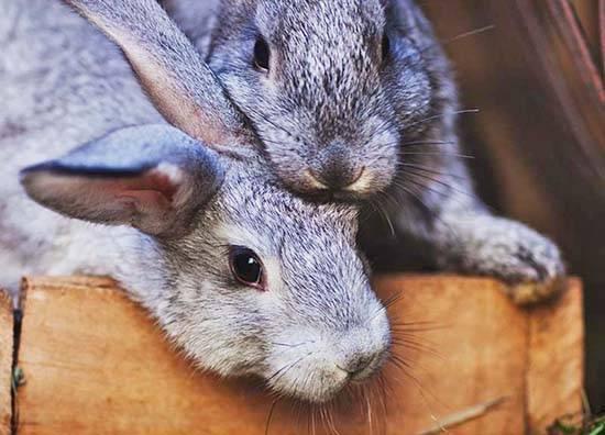Самые распростарненные болезни кроликов