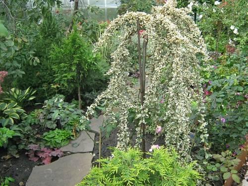 Живая изгородь из кизильника блестящего: основные требования для посадки и уход за растением