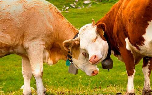 Как выбрать быка-производителя из каталога?