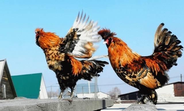 Павловские куры: характеристика порода и особенности выращивания