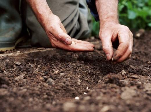 Советы по успешной и правильной посадке семян огурцов в открытый грунт