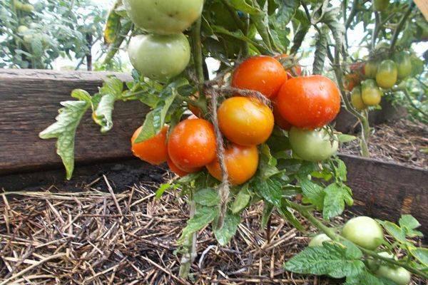 Детерминантные помидоры: лучшие сорта