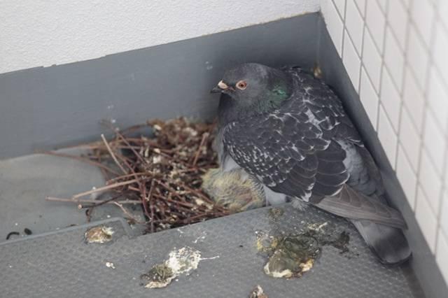 Как можно избавиться от голубей на подоконнике