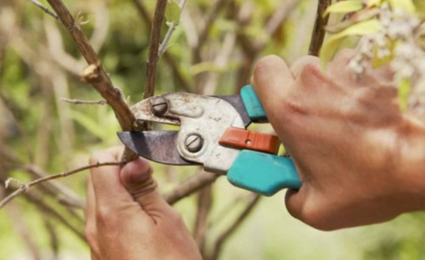 Полив, обрезка и размножение шелковицы