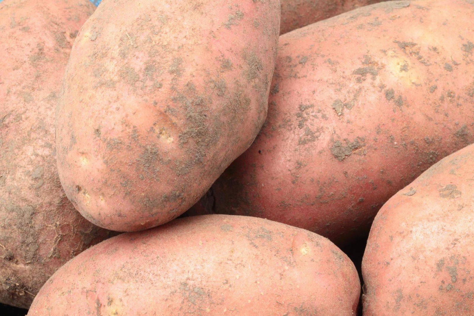 Столовый сорт картофеля «крепыш» для умеренного климата