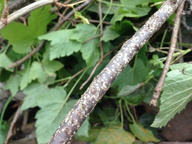 На смородине скручиваются листья меры борьбы. скручиваются листья у смородины: почему, что делать, профилактика