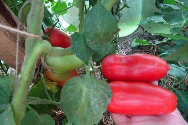 Рекордные урожаи мясистых и мягких на вкус плодов — томат розовое царство: характеристика и описание сорта