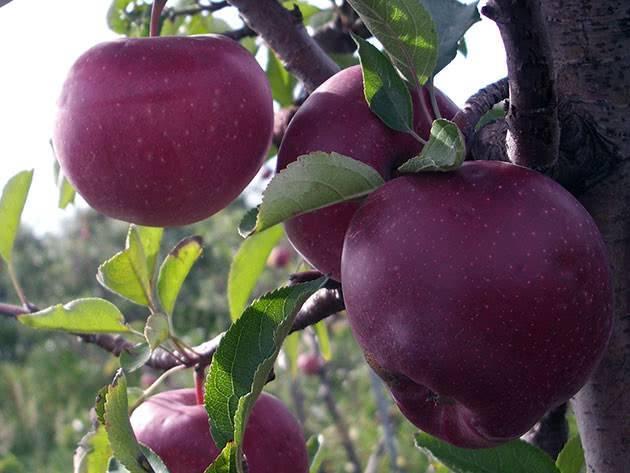 Обзор колоновидных сортов яблони для подмосковья