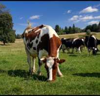 Болезни глаз у коровы