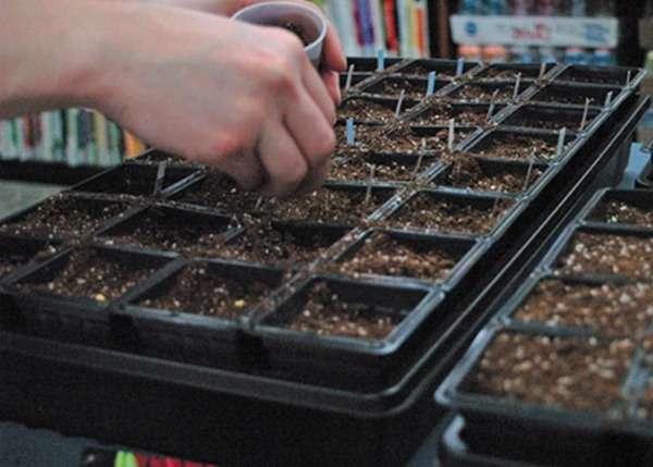Как обработать семена помидоров перед посадкой