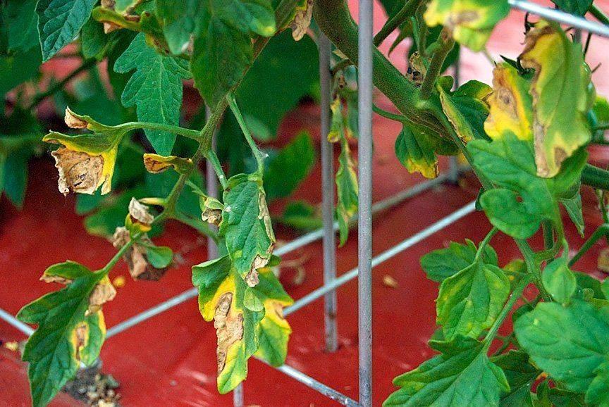 У рассады помидоров желтеют и опадают нижние листья: почему и что делать овощеводу