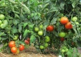 Характеристика и описание сорта томата алеша попович, его урожайность