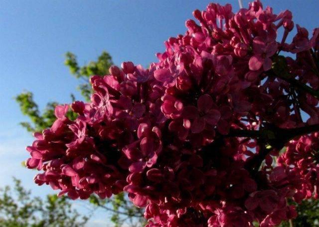 Персидская сирень (24 фото): описание карликовых сортов, распространенные цвета. особенности посадки и ухода