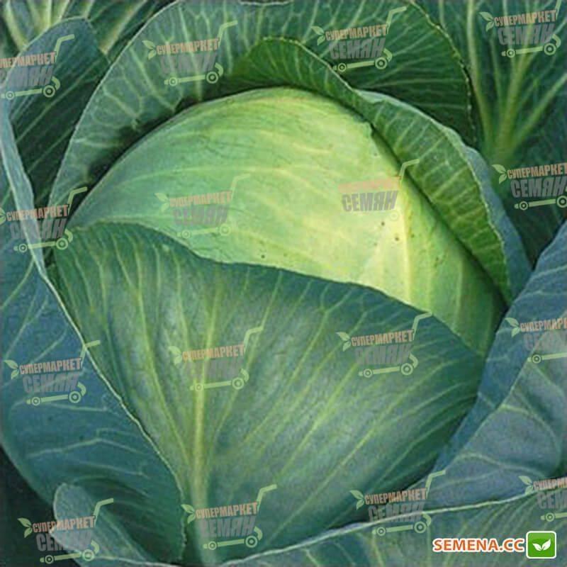 Капуста глория: описание белокочанного сорта и характеристика, фото и отзывы о семенах семко
