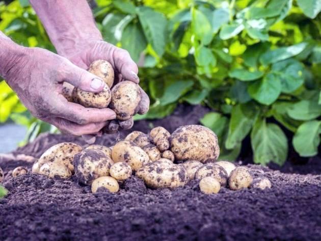 Посадка картофеля по голландской технологии: особенности, схема, сбор урожая