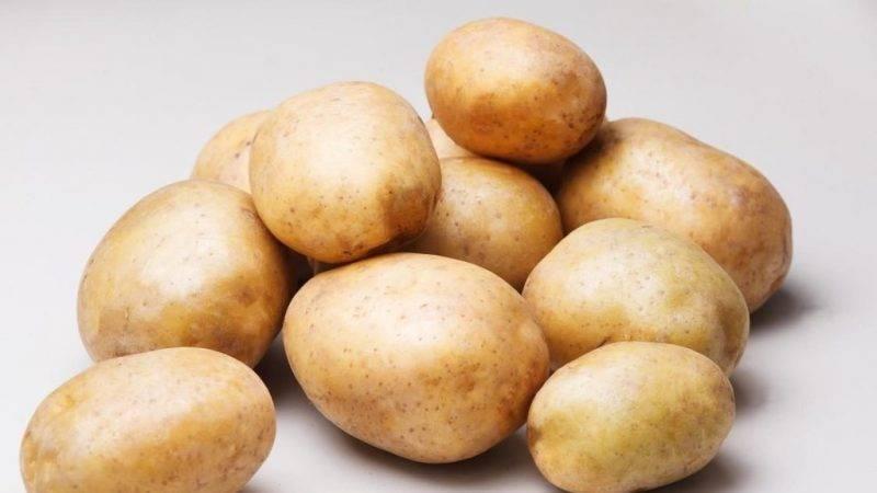 Картофель рагнеда: описание сорта, фото, отзывы, урожайность, посадка и уход