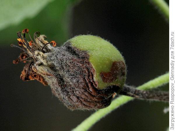 Бактериальный ожог груши и его лечение