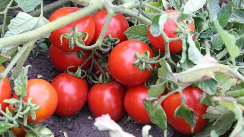 """Томат """"земляк"""": характеристика, описание сорта помидор и их фото, а также советы по выращиванию"""