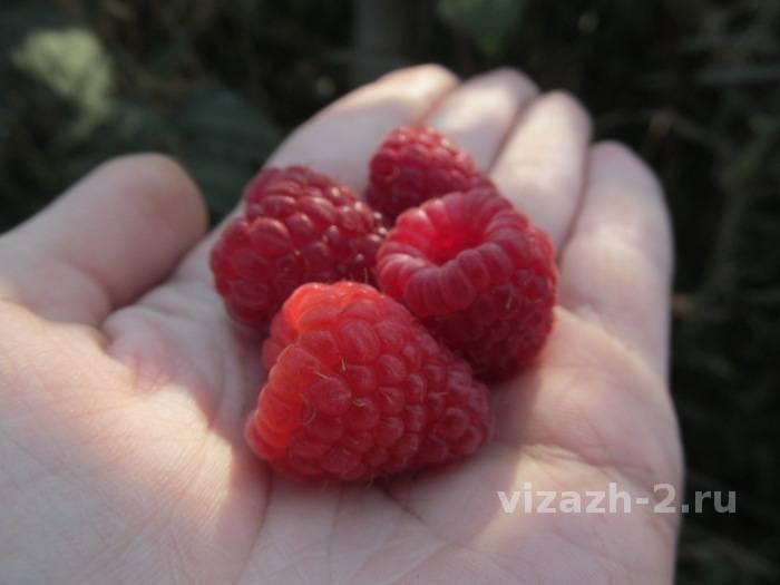 Ремонтантная малина нантахала: особенности выращивания