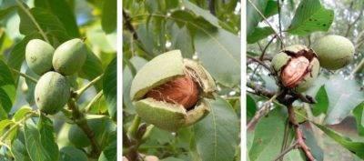 Выращивание грецкого ореха в средней полосе россии