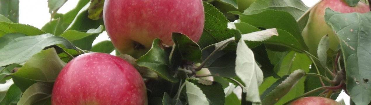 Описание сортов и разновидностей яблони китайка, правила посадки и ухода, регионы выращивания