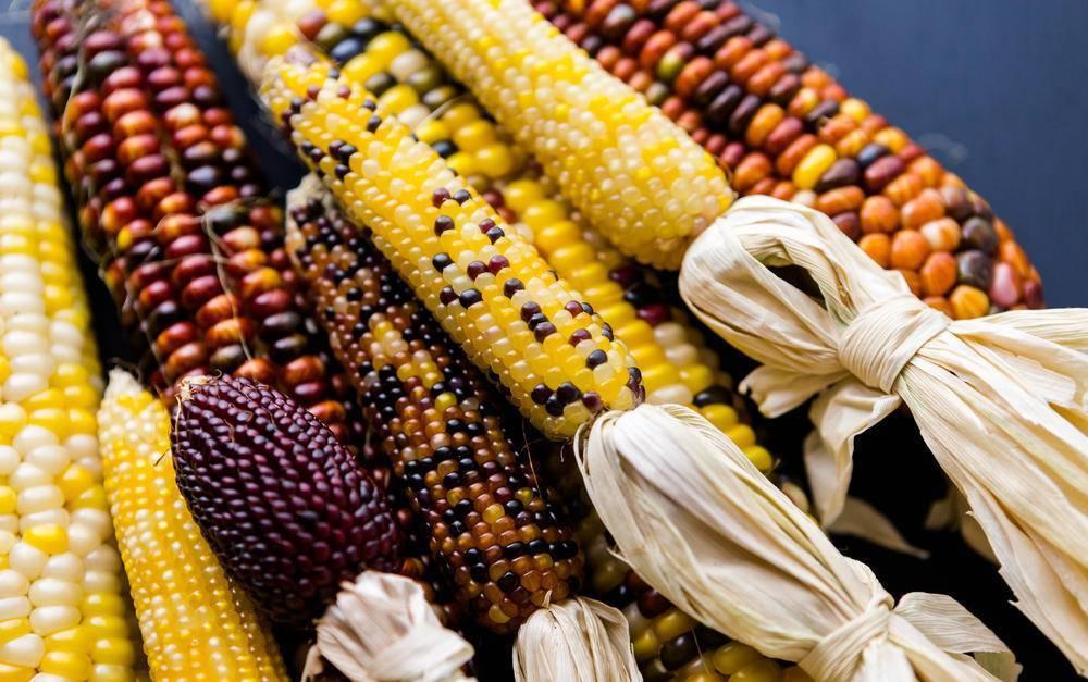 Выращивание кукурузы из семян: посадка и уход на дачном участке