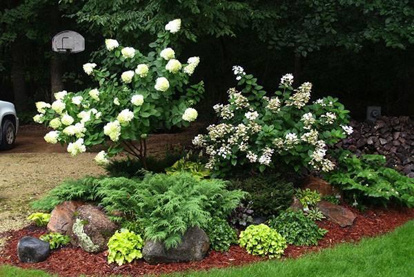 6 популярных кустарников, цветущих все лето