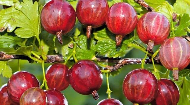 Крыжовник: описание краснославянского, берилла, финика, янтарного, седового сортов