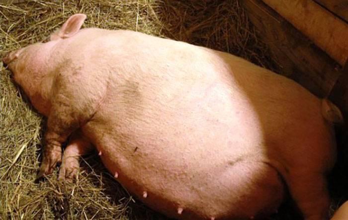 Как определить: супоросная свинья или нет