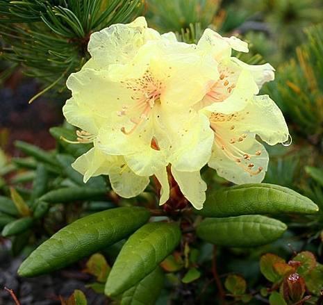Полезные свойства рододендрона адамса и других видов цветка: каким лечебным влиянием на людей обладает азалия, ядовита она или нет, и каково вредное воздействие?