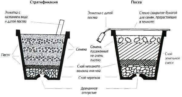 Выращивание сосны бонсай