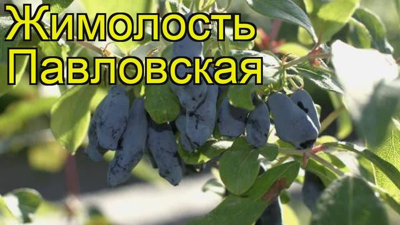 Жимолость съедобная бакчарский великан: основные характеристики, особенности сорта