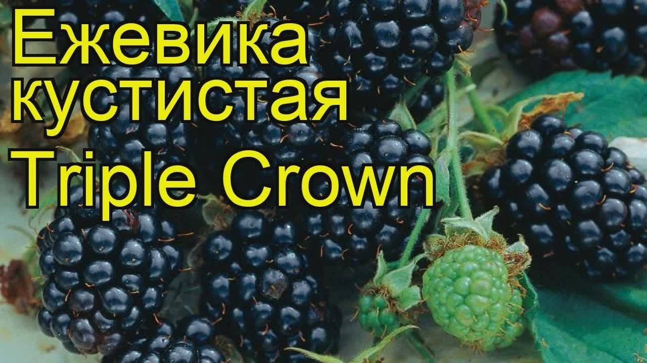Ежевика Трипл Краун (Triple Crown)