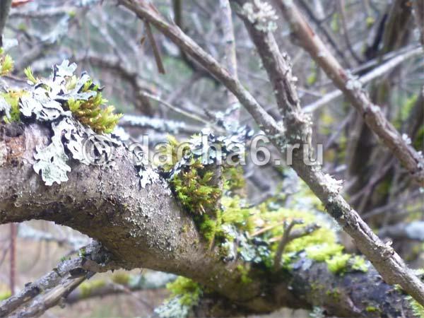 Способы борьбы с лишайниками на плодовых деревьях