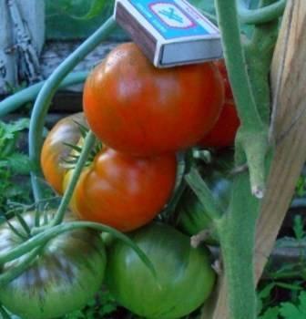 Выращивание томата король лондона
