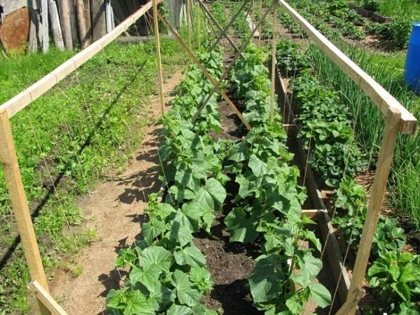 Огурец директор f1: достоинства гибрида, отзывы и рекомендации по выращиванию