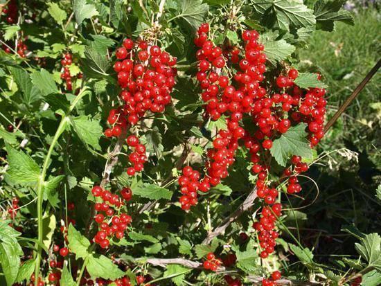 Как повысить урожай смородины: 4 основных правила