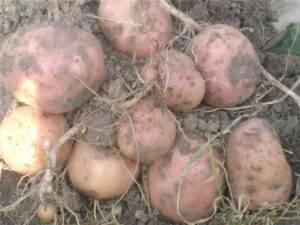Картофель коломбо: описание сорта, его характеристика и фото