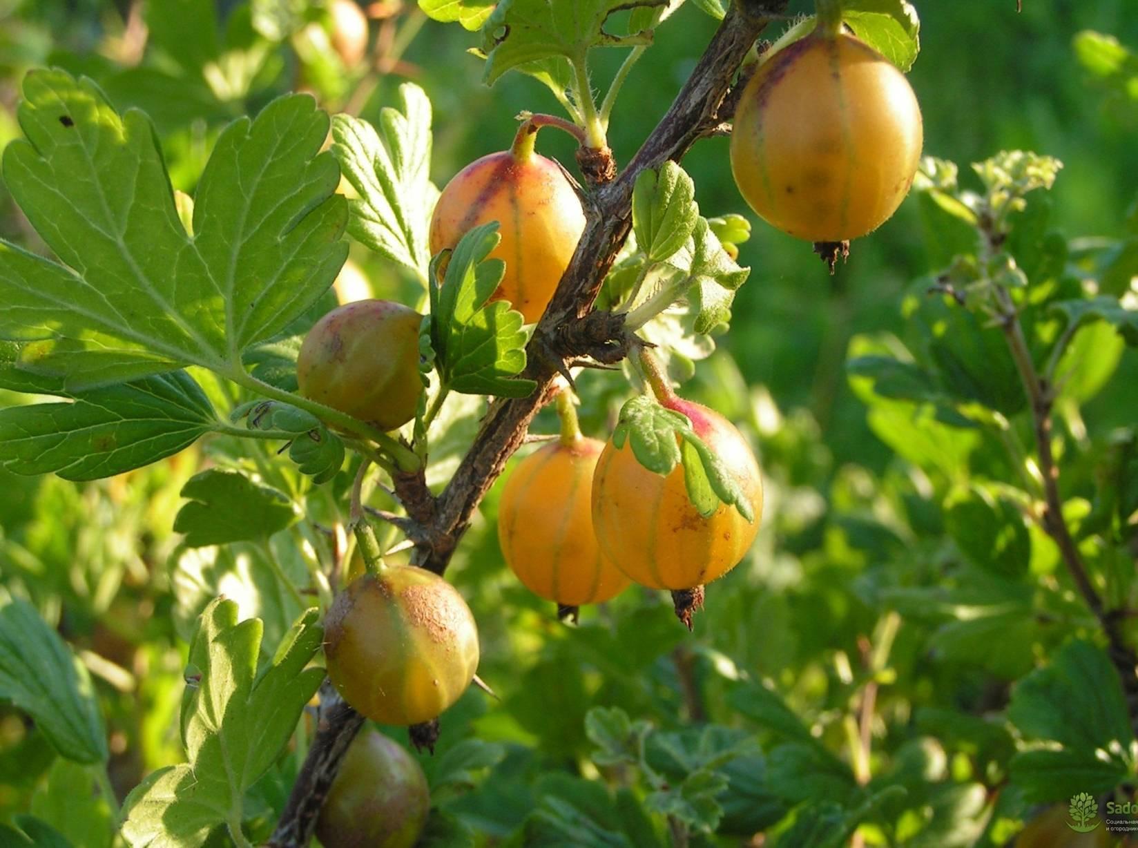 Крыжовник амурский — описание сорта, фото и отзывы садоводов