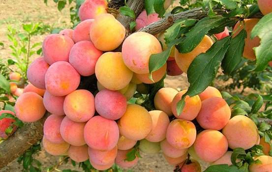 Описание шарафуги – фото гибрида сливы, абрикоса и персика