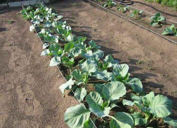 Секреты выращивания капусты брокколи в открытом грунте. советы по правильному уходу, фото