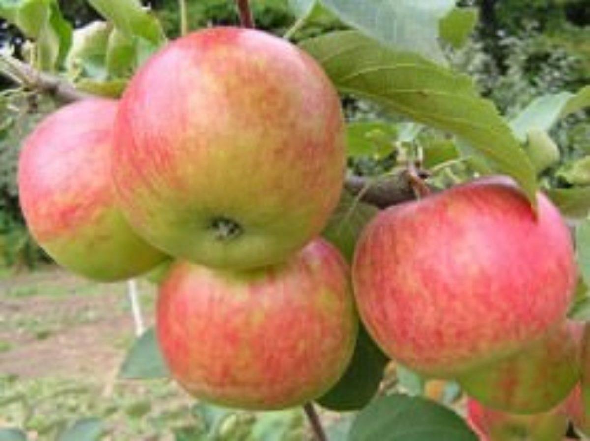 Яблоня красное раннее: описание сорта, фото, отзывы садоводов